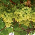 white-grapes-on-vine